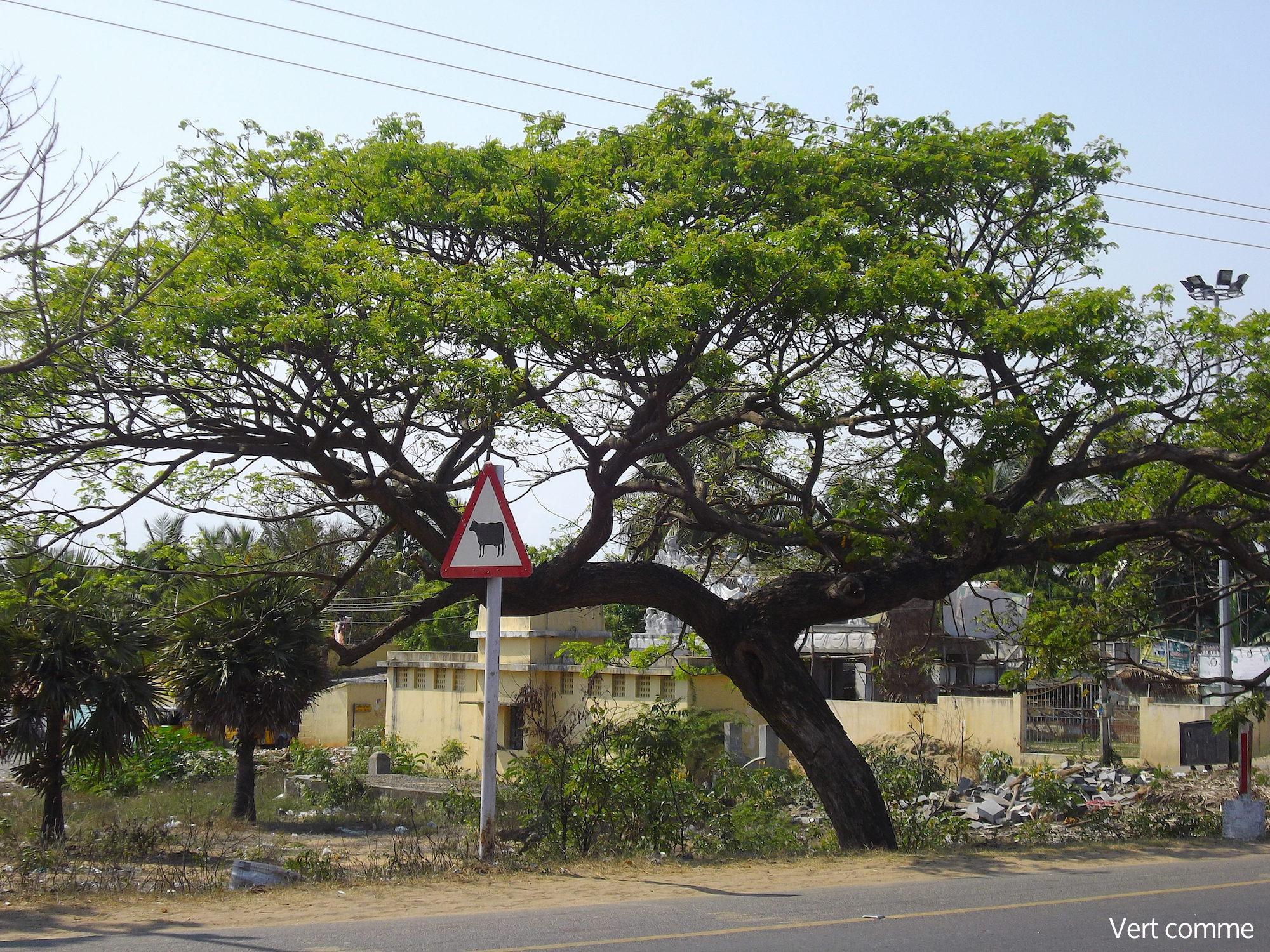 chennai arbre inde