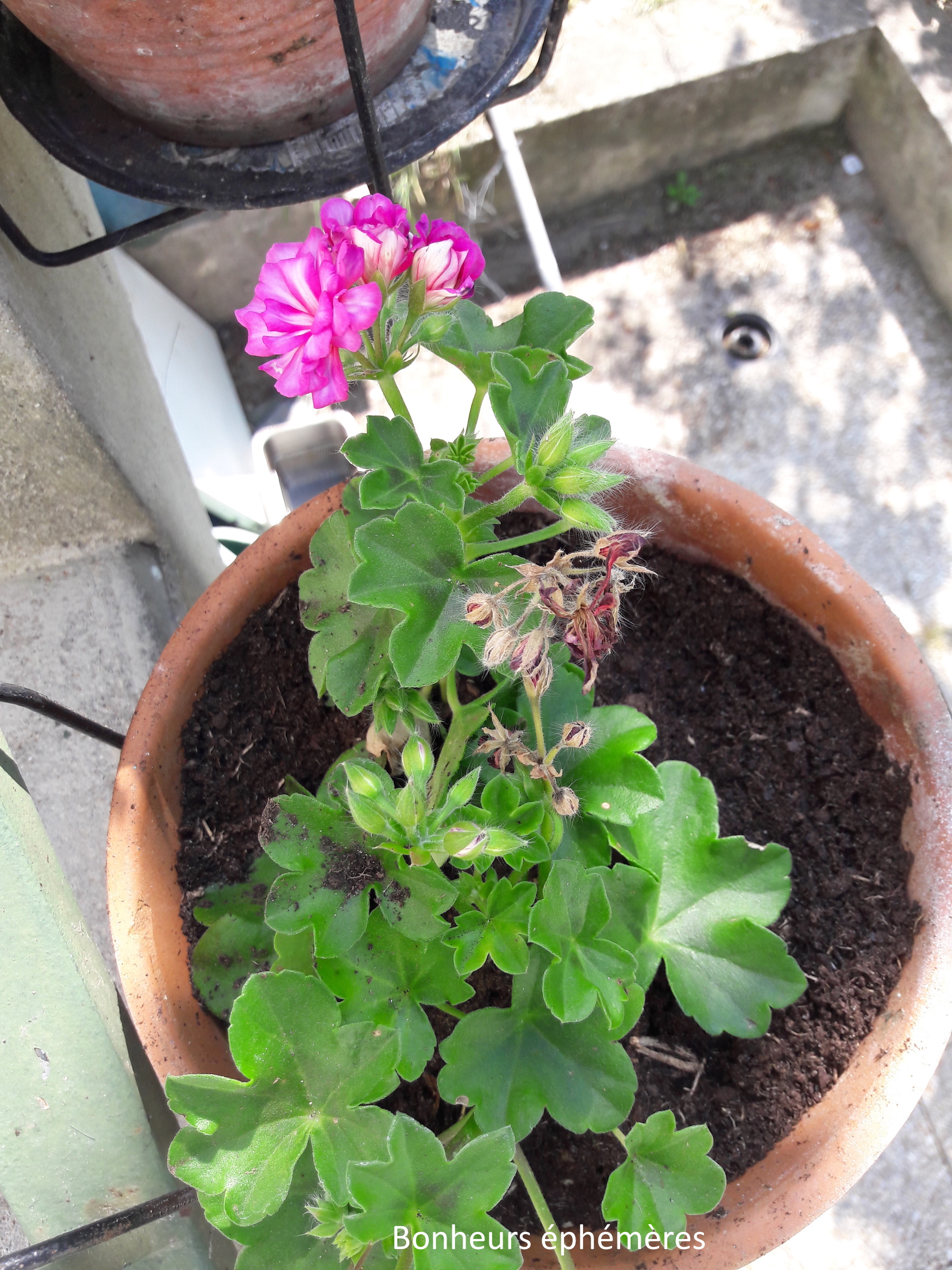 géranium fleuri La rochelle