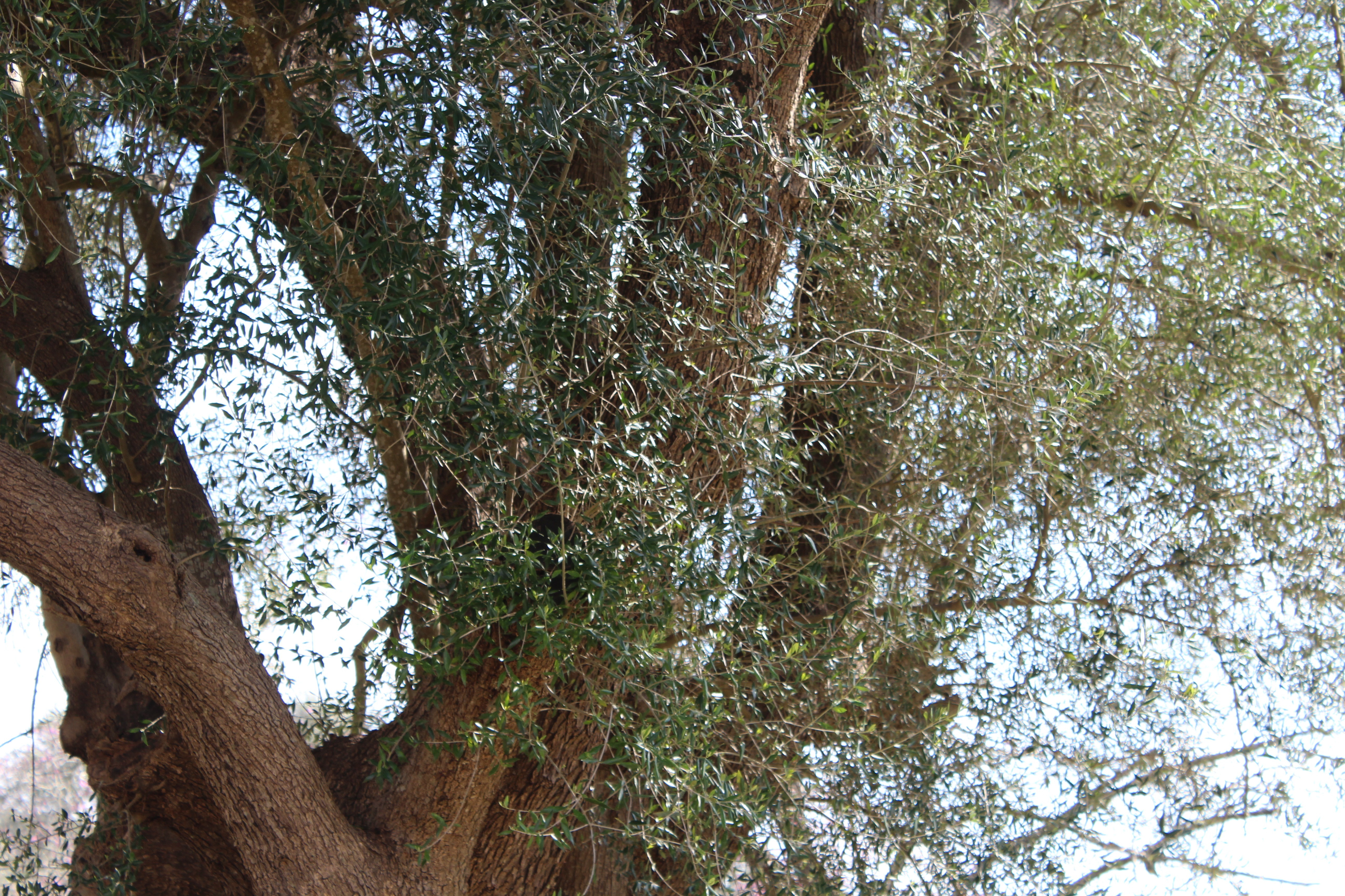 olivier grèce olympie